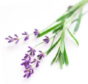 lavenderupclose